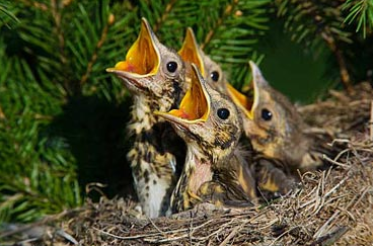 Dette billede har en tom ALT-egenskab (billedbeskrivelse). Filnavnet er Fugleunger.png